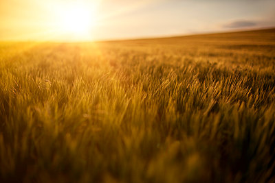 Barley field with sunset light - p1168m1525870 by Thomas Günther