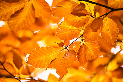Yellow leaves on twigs - p312m1139793 by Peter Rutherhagen
