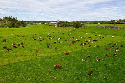 Cows on pasture - p312m2208145 by Plattform