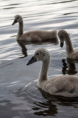 Young swans - p739m668516 by Baertels