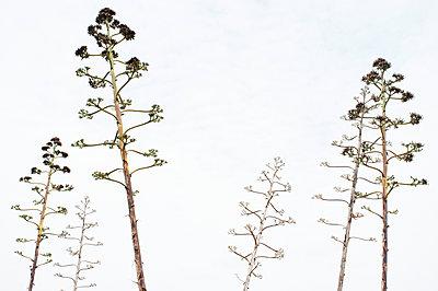 Agavenblüte - p751m1584790 von Dieter Schwer