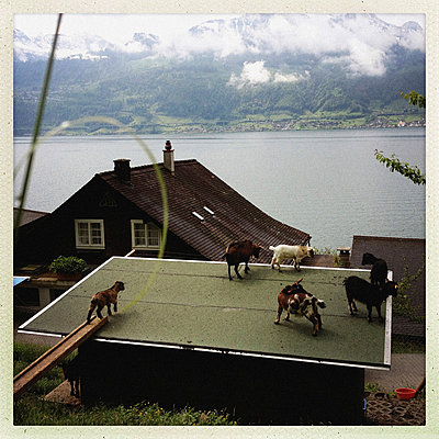 Goats on a roof - p819m883554 by Kniel Mess