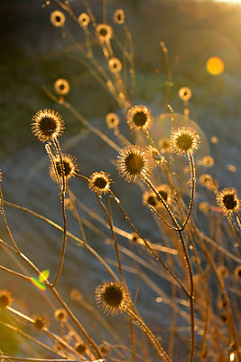 wild teasel in backlight - p876m1127659 by ganguin