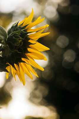 Back of sunflower - p1166m2072056 by Cavan Images