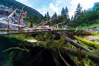 Austria, Upper Austria, Lake Gosausee with perch - p300m1460227 by Gerald Nowak