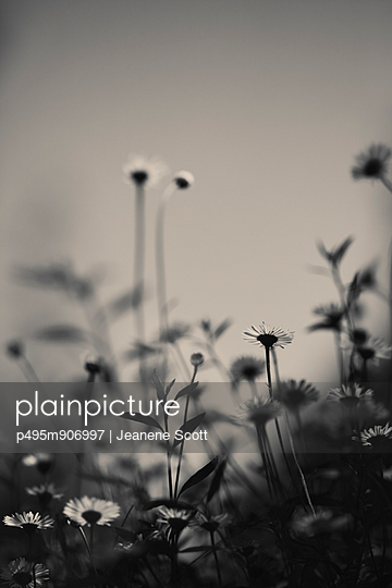 Daisies - p495m906997 by Jeanene Scott