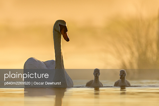 Mute swan (Cygnus olor) swimming with cygnets in misty lake in morning light. Richmond Park, London, England, UK. May. - p840m2269520 by Oscar Dewhurst