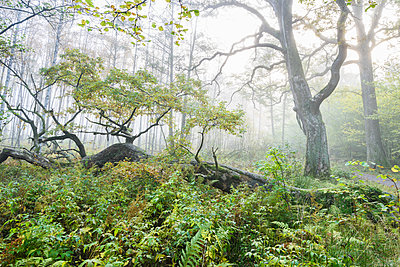Fog in green forest - p312m1533220 by Mikael Svensson