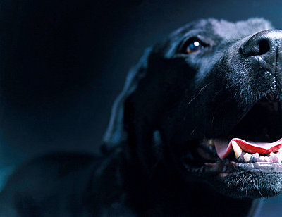 A black dog with open mouth - p3486563 by Photoland