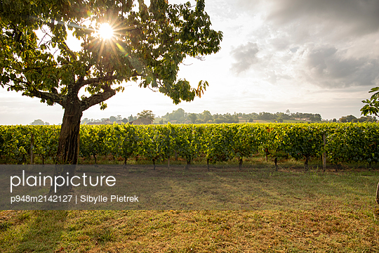 Tree in backlit in front of a row of vine - p948m2142127 by Sibylle Pietrek