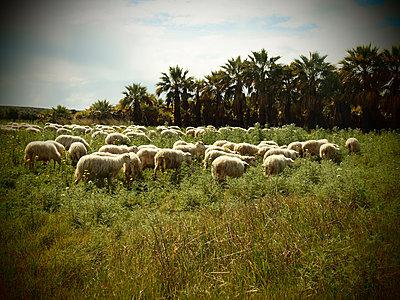Schafherde vor Palmen - p132m1134921 von Peer Hanslik