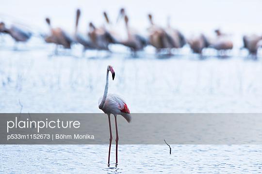 Flamingo und Pelikane - p533m1152673 von Böhm Monika