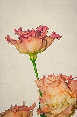 Close-up of pink lisianthus flowers against a light beige background - p1047m2259805 by Sally Mundy