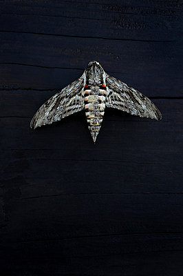 Dead Moth - p1072m829247 by Neville Mountford-Hoare