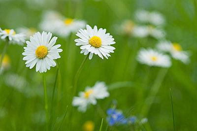 Daisies blooming in meadow - p300m2078943 von Claudia Rehm