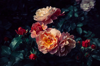 Close-up of roses blooming - p301m1196876 by Norman Posselt