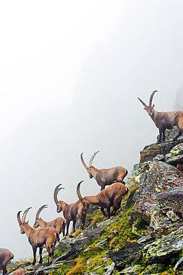 Europe, Switzerland, Bernese Oberland, Interlaken, Unesco area, Alpine ibex (Capra ibex) or Steinbock - p652m1166896 by Christian Kober
