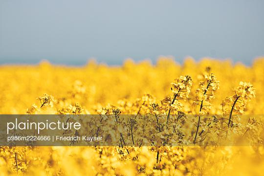 Rapsblüte: Gelbe Felder an der Kieler Förde - p986m2224666 von Friedrich Kayser