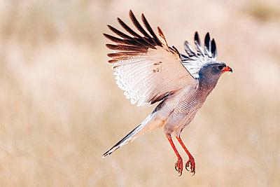 Großer Singhabicht, Kalahari, Afrika - p1065m982601 von KNSY Bande