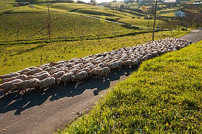 Schafherde im Baskenland - p470m1043010 von Ingrid Michel