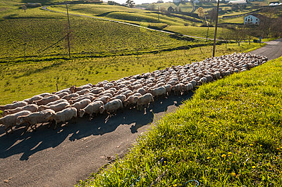Flock of sheep - p470m1043010 by Ingrid Michel