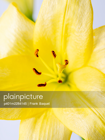 Yellow lily flower - p401m2284145 by Frank Baquet