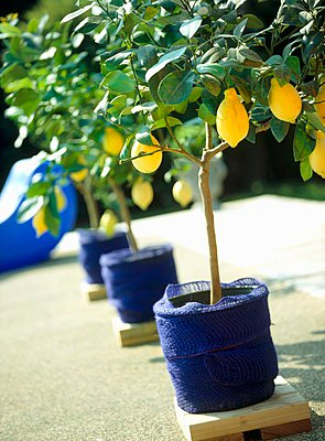 Garden detail, a row of lemon trees in pots covered with blue fabric - p1183m999373 by Heinze, Winfried