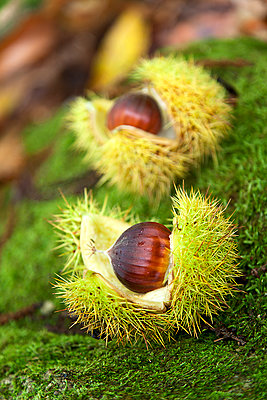 Sweet chestnut - p1205m1106479 by Toni Anzenberger & Christina Anzenberger-Fink