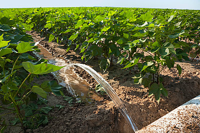 Agriculture - Furrow irrigation of a mid growth cotton crop utilizing a poly roll out pipe. Water is directed down every other row in the field / near England, Arkansas, USA. - p442m961459 by Bill Barksdale