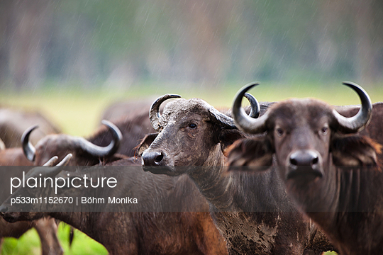 Kaffernbüffel im Regen - p533m1152670 von Böhm Monika
