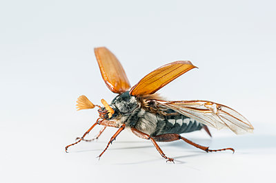 May beetle, Melolontha - p1437m2052843 by Achim Bunz