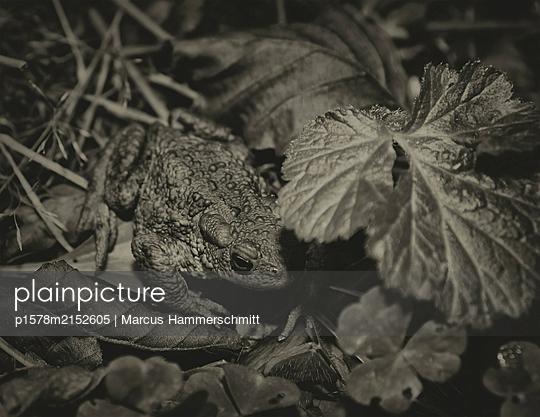 Kröte im Versteck - p1578m2152605 von Marcus Hammerschmitt