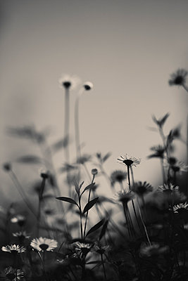 Daisies - p495m906997 by Jeanene Scott