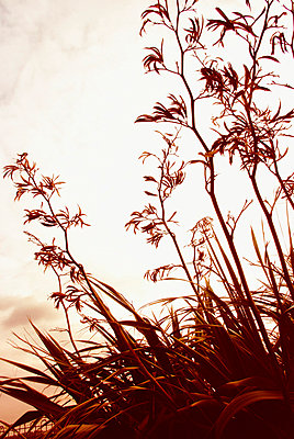 Silhouettes of tall seed pods of New Zealand flax against sky - p5970186 by Tim Robinson