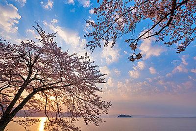 Cherry blossoms in full bloom at Lake Biwa, Shiga Prefecture, Japan - p307m1495894 by MATSUO.K