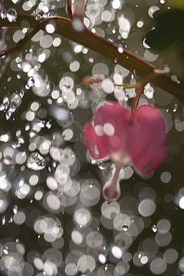 Pink flower - p7390205 by Baertels