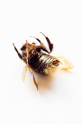 A dead bumble bee on a white background - p1302m2092526 by Richard Nixon