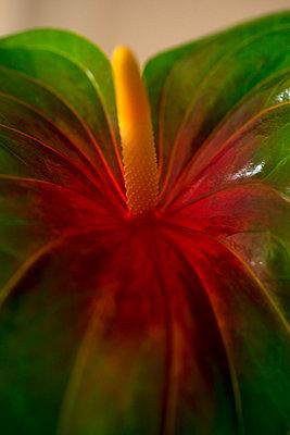 Flamingo flower - p427m1007565 by R. Mohr