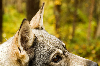 A Swedish Elkhound in the forest, Sweden. - p5754142f by Hans Berggren