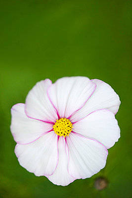 White cosmos flower - p62314362f by Odilon Dimier