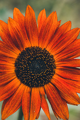Close up of a summer flower - p1628m2208705 by Lorraine Fitch
