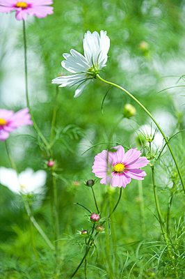 Pink and white blooming cosmos flowers, Chester, Nova Scotia, Canada - p343m2025955 by Joseph De Sciose