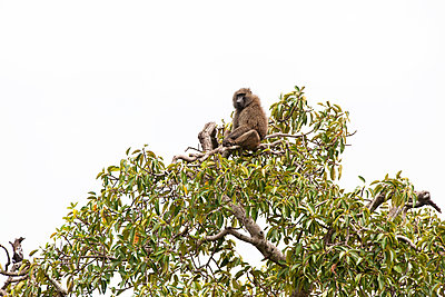 Baboon on top of a tree - p533m1120341 by Böhm Monika