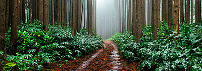 Falca Forest Reserve in a foggy day. Faial, Azores islands, Portugal - p6511689 by Mauricio Abreu photography