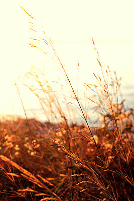Grasses by the sea - p879m1185654 by nico