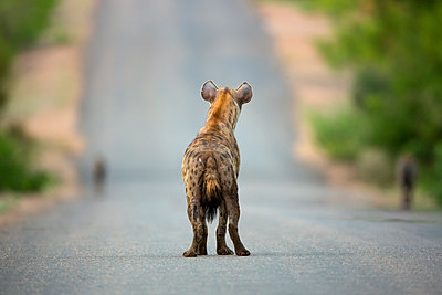 Spotted Hyena on road, Kruger National Park, South Africa - p884m1357052 by Richard Du Toit