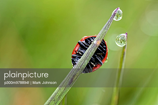 Seven-spotted ladybird, Coccinella septempunctata, on blade of grass - p300m978894f by Mark Johnson