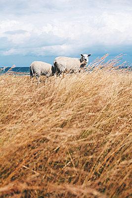 Schafe - p1006m1441799 von Danel