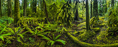 The lush rainforest of Cathedral Grove, MacMillan Provincial Park, Vancouver Island; British Columbia, Canada - p442m1482822 by Robert Postma