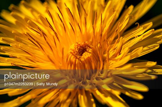 Macro close-up of wild dandelion flower in full bloom against dark background - p1047m2283239 by Sally Mundy